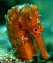 There were three seahorses together. The orange one was v... by Paul Holota